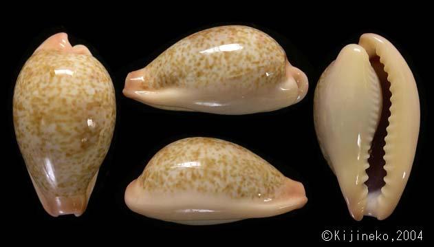 Erronea subviridis subviridis f.extranea (Lorenz,2017) 6gatu282001